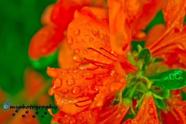 red.azalea